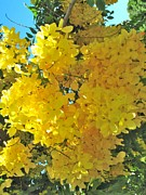 Cassia Photos - Yellow Blossom by Irina Zilbermanas