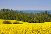 Canola Field Prints - Yellow Blue Green Print by Andy Bitterer