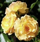 Roses - Yellow Bunch by Cathie Tyler