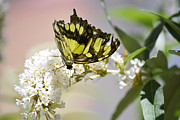 Orange And Brown Wings Metal Prints - Yellow Butterfly Beauty Metal Print by Andrea Hazel Ihlefeld