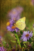 Asters Prints - Yellow Butterfly Print by Cindi Ressler