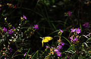 Noel Elliot Prints - Yellow Butterfly in Flight Print by Noel Elliot