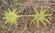 Rare Plants Drawings - Yellow Butterwort in Habitat by Scott Bennett