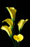 Blossom Acrylic Prints - Yellow calla lilies  Acrylic Print by Garry Gay