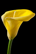 Calla Detail Prints - Yellow Calla Lily Print by Garry Gay