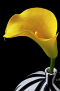 Stems Posters - Yellow calla lily in black and white vase Poster by Garry Gay