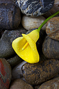 Bright Metal Prints - Yellow Calla Lily On Rocks Metal Print by Garry Gay