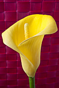 Calla Lilies Prints - Yellow Calla Lily Red Mat Print by Garry Gay