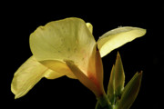 Canna Photo Posters - Yellow Canna Poster by Jeannie Burleson