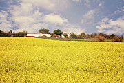 Crops Art - Yellow Carpet of Gorgeous by Lana Trussell
