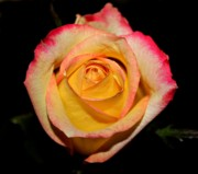 Peach Roses Prints - Yellow Center Print by Cathie Tyler