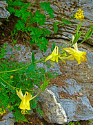 Montana Digital Art - Yellow Columbine along Highline Trail in Glacier NP by Ruth Hager