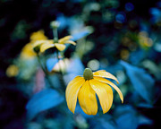 Yellow Cone Flower On Blue Background Print by Marcio Faustino