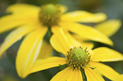 Coneflowers Prints - Yellow Coneflowers Print by Rich Franco