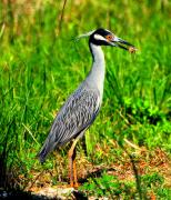 Pasco County Prints - Yellow Crested Night Heron Catches a Fiddler Crab Print by Barbara Bowen