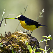 Square_format - Yellow-Crowned Euphonia by Heiko Koehrer-Wagner