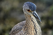 Cypress - Yellow Crowned Night Heron at Estero Bay by Juergen Roth