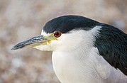 Crowned Head Posters - Yellow-crowned Night Heron Poster by Bob Gibbons