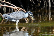 Birdwatching. B A Bowen Photography Framed Prints - Yellow Crowned Night Heron catches a Crab Framed Print by Barbara Bowen
