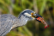Louisiana Crawfish Posters - Yellow Crowned Night Heron Goes Crawfishing Poster by Bonnie Barry