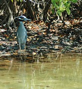 Fort Meyers Photos - Yellow Crowned Night Heron by Kathleen Struckle
