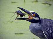 Crawfish Art - Yellow Crowned Night Heron  by Savannah Gibbs