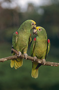 Amazon Parrot Prints - Yellow-crowned Parrot Kiss Print by Thomas Marent