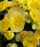 Begonias Posters - Yellow Cuties Poster by Marsha Heiken