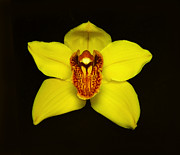 Flower Works Photos - Yellow Cymbidium Orchid II. by Chris  Kusik