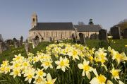 Headstones Prints - Yellow Daffodils In A Cemetery Beside A Print by John Short