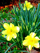 Tracy Daniels - Yellow Daffodils