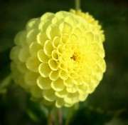 Dahlias - Yellow Dahlia by Cathie Tyler