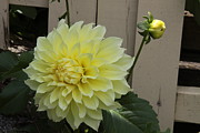Dinner-plate Dahlia Framed Prints - Yellow Dahlia Framed Print by Jim Vansant
