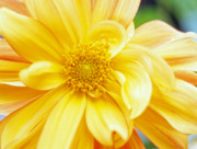 Floral Photographs Posters - Yellow Dahlia Poster by Kathy Yates