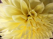 Dinner-plate Dahlia Framed Prints - Yellow Dahlia Framed Print by Terri Thompson