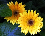 Dale   Ford - Yellow Dahlias