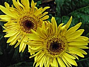 Gerbera Art - Yellow Daisies by Sarah Loft