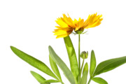 Isolated Digital Art Metal Prints - Yellow daisy isolated against white Metal Print by Sandra Cunningham
