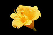 Thin Originals - Yellow Day Lily on Black by Michael Waters