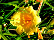 Elizabeth Eells - Yellow Daylilly