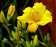 James Steele - Yellow Daylily