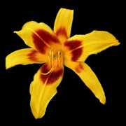 Scott  Bricker - Yellow Daylily on Black