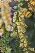 Foxglove Flowers Posters - Yellow Digi Poster by Maj Seda