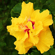 Kerri Ligatich Prints - Yellow Double Hibiscus Print by Kerri Ligatich