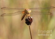 Dragonfly Framed Prints - Yellow Dragonfly Framed Print by Carol Groenen