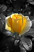 Stephen Clarridge Metal Prints - Yellow English Rose Vertical Metal Print by Stephen Clarridge