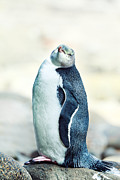 Curio Art - Yellow-eyed Penguin by MotHaiBaPhoto Prints