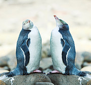 Curio Art - Yellow-eyed Penguins by MotHaiBaPhoto Prints