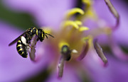 Honey Bee Photos - Yellow Faced Bee by Zoe Ferrie