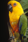 Amazon Parrot Posters - Yellow-faced Parrot Amazona Xanthops Poster by Claus Meyer